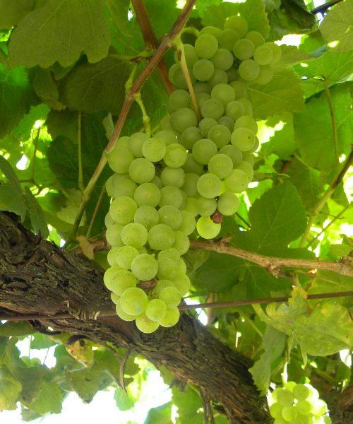 características de la uva albariño