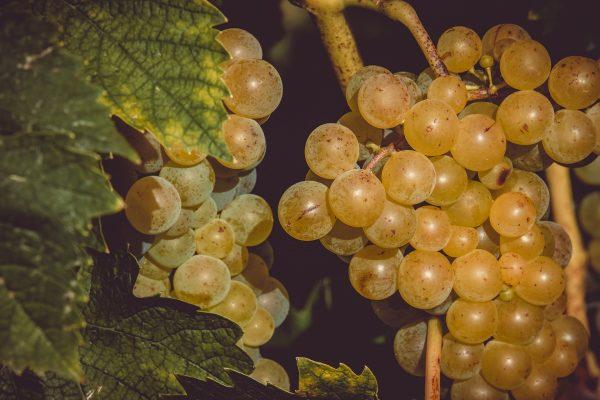Racimo de uvas blancas